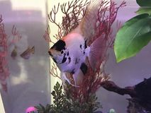 Angelfish swimming in the aquarium. Angelfish swimming around with a platy by her side Royalty Free Stock Images