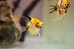Angelfish Royalty Free Stock Photography