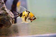 Angelfish Stock Photography