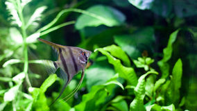 Angelfish in Tropical Aquarium Royalty Free Stock Photo