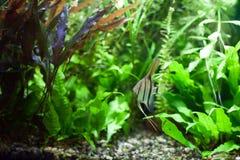 Angelfish in Tropical Aquarium Stock Image