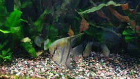 Angelfish in Tropical Aquarium stock video