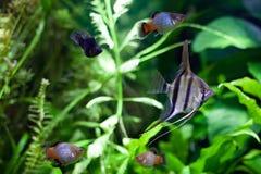 Angelfish in Tropical Aquarium Stock Photos