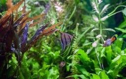 Angelfish in Tropical Aquarium Royalty Free Stock Image