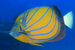 Angelfish. Underwater photo of angelfish in sea stock photo