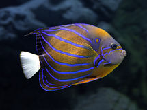 Angelfish underwater - pomacanthus annularis. Striped angelfish underwater - pomacanthus annularis royalty free stock photos