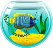 Angelfish w akwarium Obraz Royalty Free