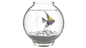 Angelfish w fishbowl z białymi otoczakami i lotniczymi bąblami Zdjęcie Stock