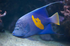 Angelfish Yellowband (maculosus Pomacanthus) Стоковые Фото