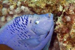 angelfish yellowbar Στοκ Εικόνα