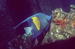 angelfish yellowbar Στοκ Φωτογραφίες