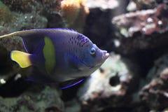 angelfish yellowbar Photographie stock