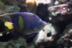 angelfish yellowbar Στοκ Φωτογραφία