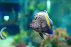 angelfish yellowbar Στοκ εικόνα με δικαίωμα ελεύθερης χρήσης