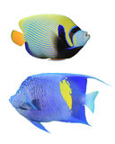 Angelfishes royalty free stock image