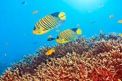 Angelfishes reais Imagem de Stock
