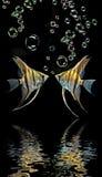 Angelfishs Στοκ Φωτογραφία