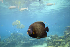 AngelFsh. Brown Yellow Spotted Angelfish swimming over reef in clear water Stock Photos