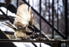 Angelic Bird in Motion. A Black-capped Chickadee flapping its wings and takes a seed with motion blur Stock Images