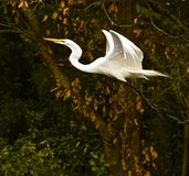 Angelic Flight do grande Egret Fotografia de Stock