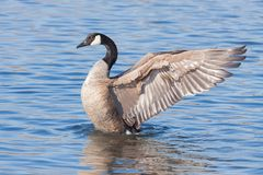 Angelic Goose Spreads seine Flügel Lizenzfreies Stockfoto