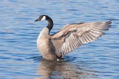 Angelic Goose Spreads suas asas foto de stock royalty free
