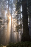Angelic-like sunbeams. A redwood forest and lovely sunbeams royalty free stock photo