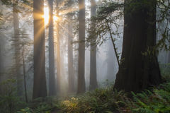 Angelic-like sunbeams. Sunbeams shine down, as if from the heavens, in California redwood forest stock photography
