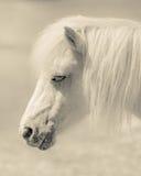 Angelic Pony Portrait Fotografering för Bildbyråer