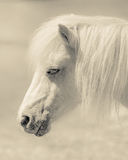 Angelic Pony Portrait Stock Image