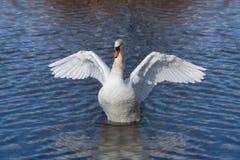 Angelic Swan Spreads zijn Vleugels royalty-vrije stock foto's