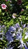 Angelica και hibiscus λουλούδια στοκ εικόνα