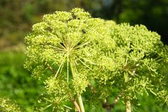 Angelica archangelica Stock Photography