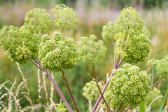 Angelica archangelica. Angelica close photo on green background stock images