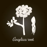 Angelica, archangelica or dong quai, or female ginseng. Flower and root. White Silhouette Stock Photography