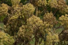 Angelica Archangelica - la pianta utilizzata in culinario Fotografie Stock Libere da Diritti