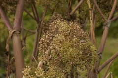 Angelica Archangelica - the plant used in culinary Stock Images