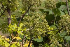 Angelica Archangelica - the plant used in culinary Royalty Free Stock Photography