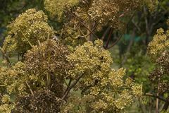 Angelica Archangelica - the plant used in culinary Royalty Free Stock Images