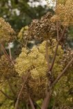 Angelica Archangelica - the plant used in culinary Stock Photography