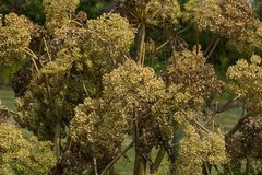 Angelica Archangelica - the plant used in culinary Royalty Free Stock Photos