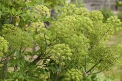 Angelica Archangelica - the plant used in culinary Royalty Free Stock Photo