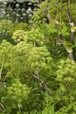 Angelica Archangelica - the plant used in culinary Stock Photo