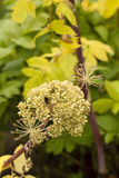 Angelica Archangelica Royalty Free Stock Images