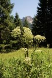 Angelica archangelica. In the Tyrolean Alps royalty free stock images