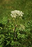 Angelica archangelica. In the Tyrolean Alps royalty free stock image