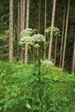 Angelica archangelica. In the Tyrolean Alps royalty free stock photo