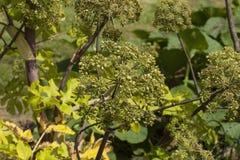 Angelica Archangelica - växten som används i kulinariskt royaltyfria foton