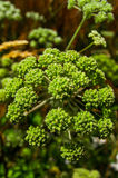 Angelica archangelica. Wild celery. Wild plant royalty free stock photography