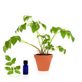 Angelica Healing Herb Royalty Free Stock Images